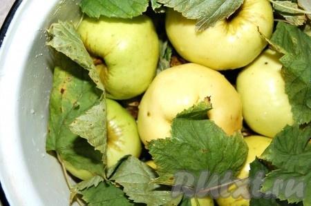 Листья черной смородины и вишни вымыть и переложить ими яблоки в кастрюле.